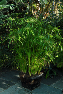 Cyperus alternifolius growing in a plastic pond basket