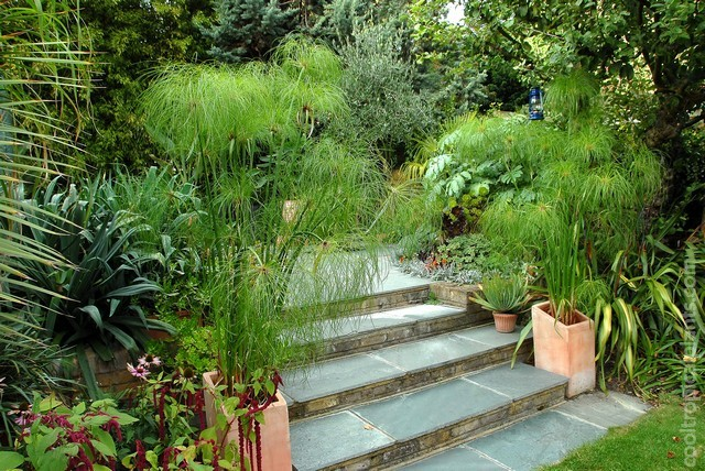 Cyperus papyrus growing in swamp pots on steps leading to patio in previous picture