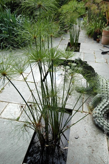 Cyperus papyrus growing in and ornamental pond