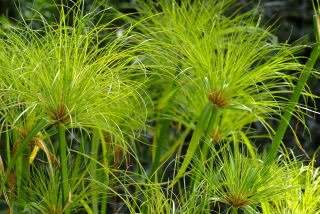 Cyperus papyrus