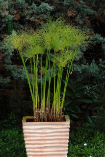 Cyperus papyrus growing in a water filled terracotta pot.