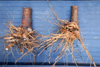 Washed roots of cyphomandra betacea, the tree tomato.