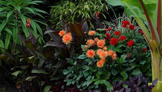Dahlias growing in a mixed tropical border