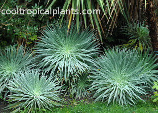 Echium wildpretii foliage