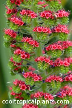Echium wildpretii flowers