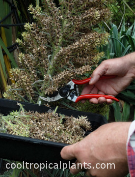 Dried flower stalks being removed with secateurs.