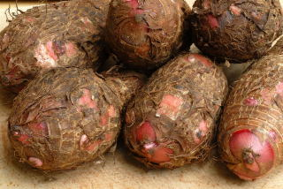 Elephant ear tubers (Xanthosoma sp.)