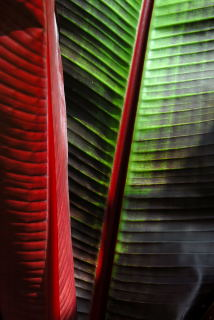 Ensete Ventricosum 'Maurelii' leaf detail.