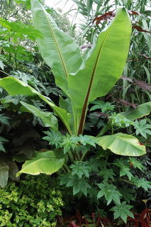 Ensete ventricosum ready to be dug up.