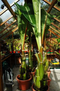 Ensete ventricosum specimens ready for winter in the greenhouse.