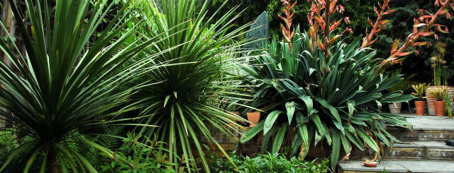 Cordyline and Beshorneria