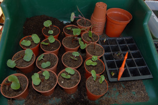 Four O'Clocks in individual pots.