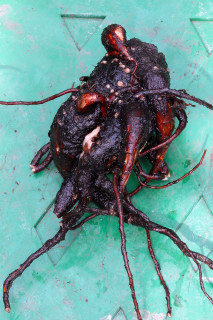 Tuber of Mirabilis jalapa