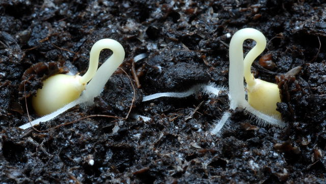 Newly germinated papaya seedlings