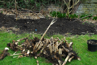The mound of removed arundo donax rhizomes increases