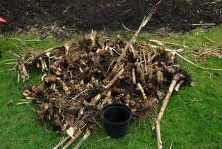 All removed rhizomes in a heap