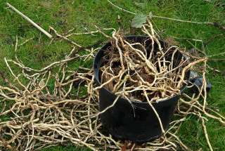 Bind weed roots