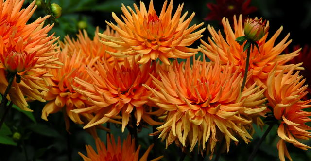 Orange Dahlia Flowers Pictures