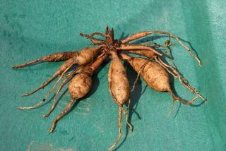 Dahlia tuber or bulb.