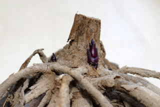 Dahlia tuber showing signs of life.