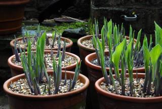 Hosta leaves emerging from the soil in pots.