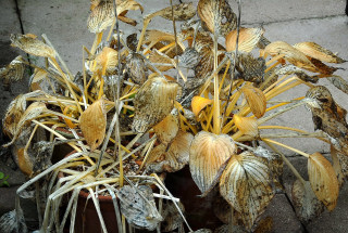 Hosta foliage dying down for winter