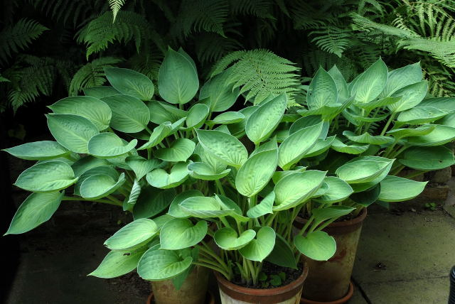 Hostas growing in pots