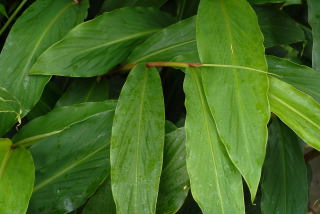 Leaf of hedychium maximum