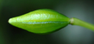 A ripening impatiens seed pod.