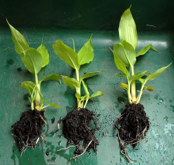 Kahili ginger plants separated