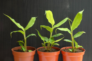 Kahili ginger plants re-potted