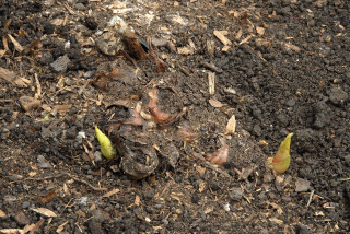 Emerging shoots of the Kahili ginger