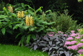 Kahili ginger settled in a tropical border