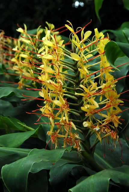 kahili ginger flowers