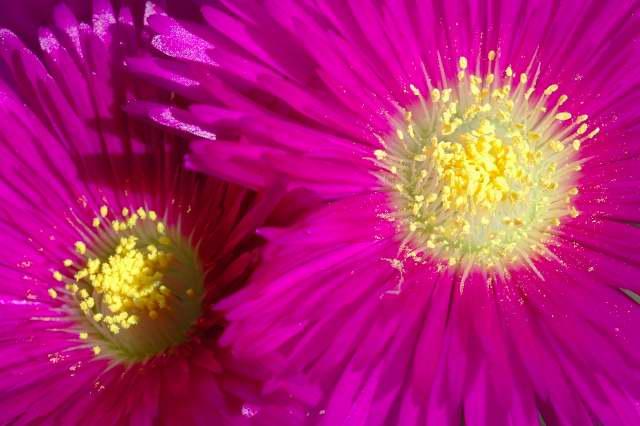 Lampranthus spectabilis flower