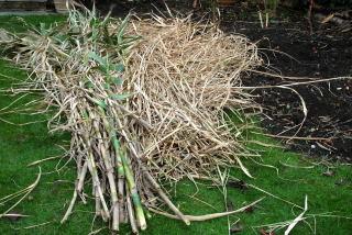 Tall grasses ready for shredding.