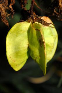 Seed pod of Melianthus major