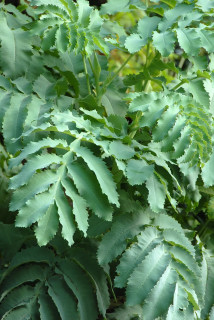 Melianthus major leaf detail