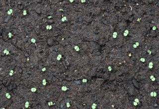 Newly germinated seeds of the Mexican cigar plant.