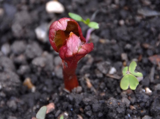 Emerging stem from a Mirabilis tuber.