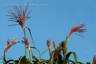 Miscathus floridulus flowers
