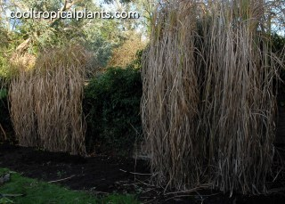 Winter appearance of Miscanthus grass