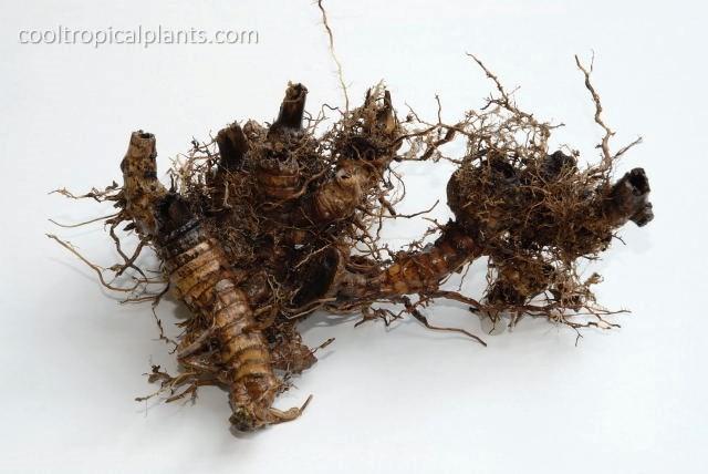 Miscanthus floridulus rhizome