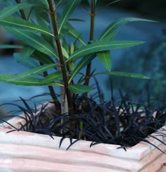 Nerium oleander under-planted with Ophiopogon planiscapus 'Nigrescens'
