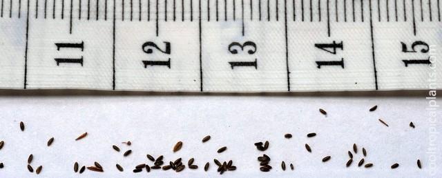 Papyrus seeds
