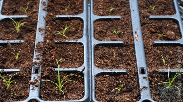Pricked out papyrus seedlings