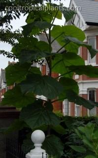 Paulownia foliage