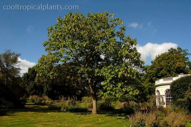 A good sized Paulownia tomentosa