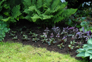 An early planting of Persian shield (strobilanthes dyerianus)