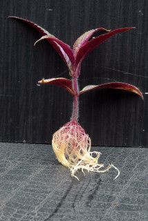 Persian shield with new roots formed.